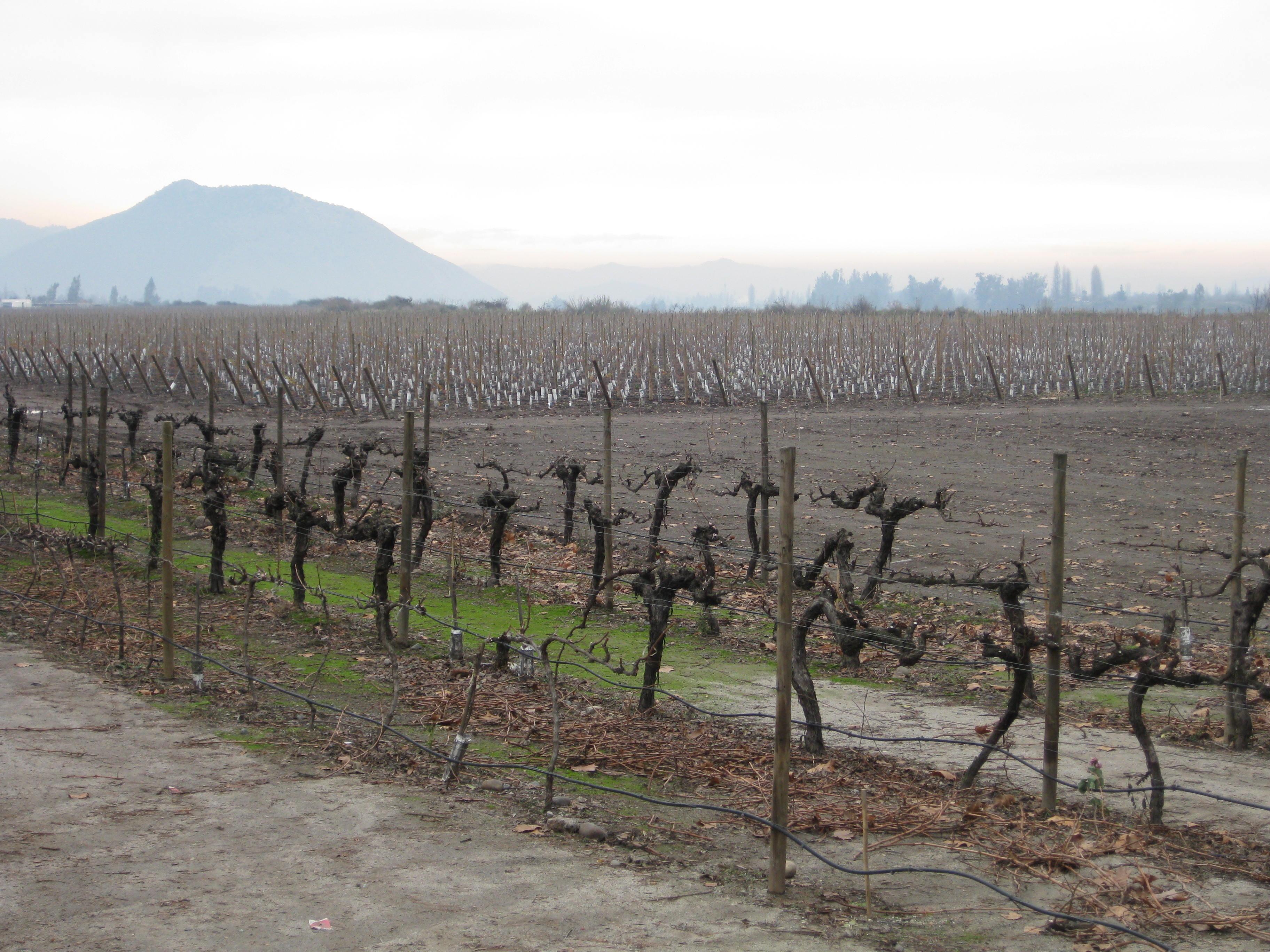 Concha Y Toro vineyard