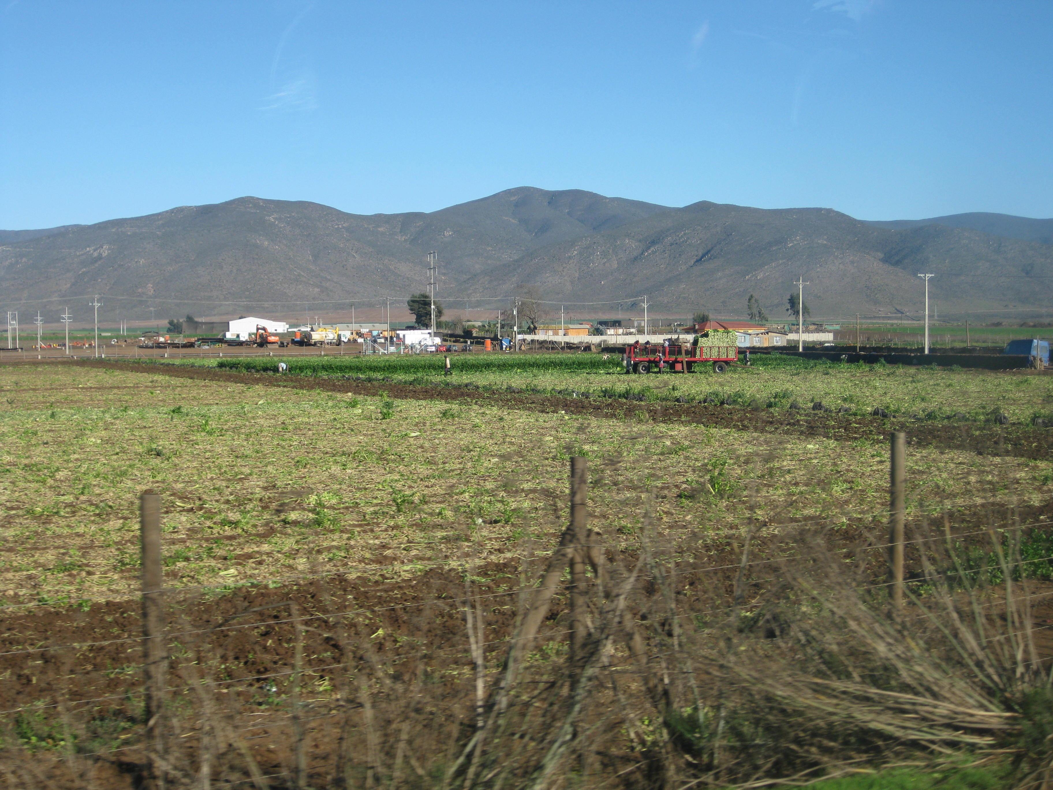 A celery field