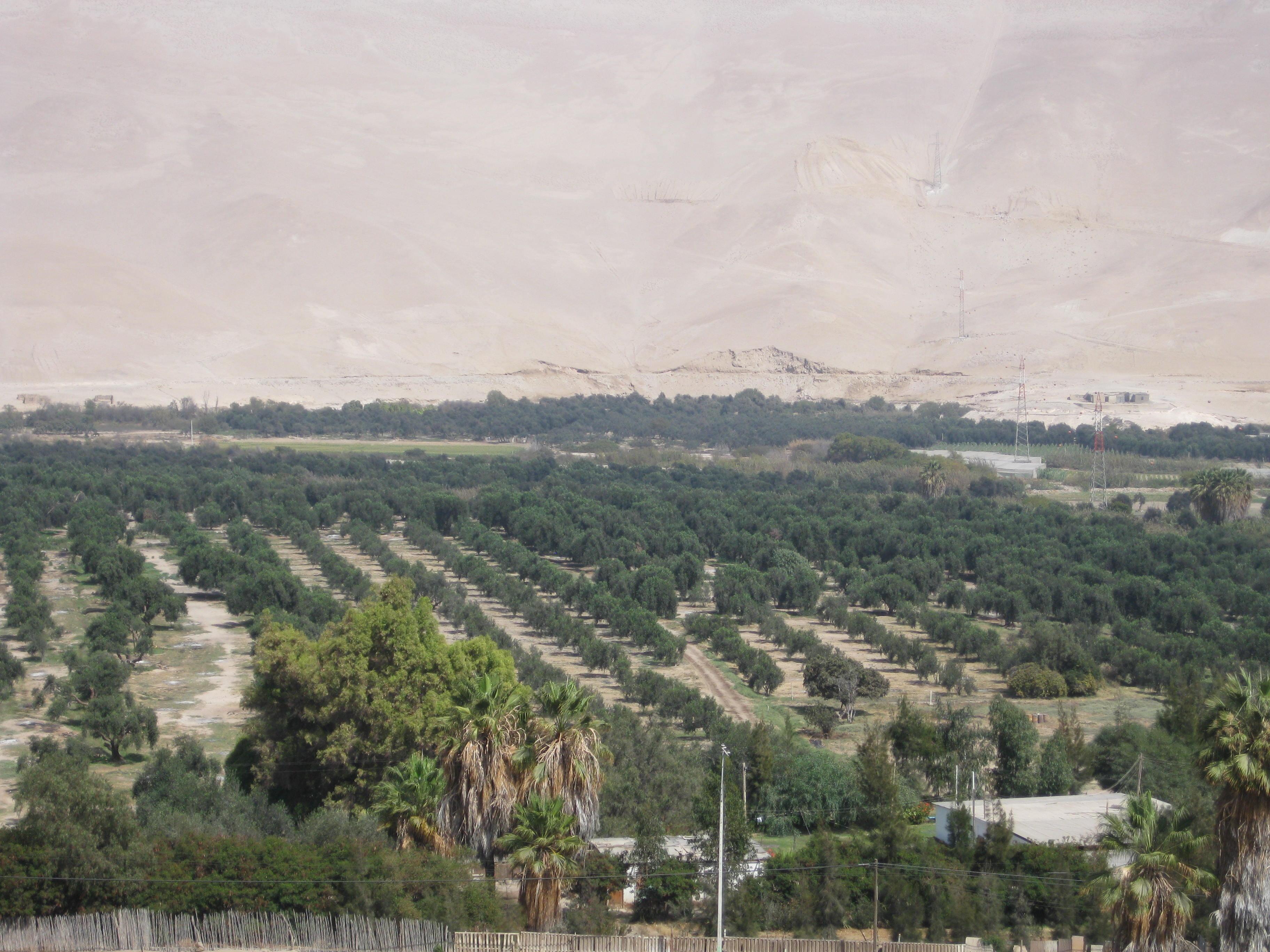Olive Trees in Azapa Valley in the Atacama Desert